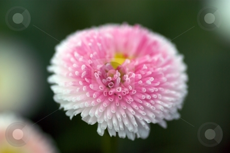Floating Tube Bloom stock photo, Closeup of an English Daisy Bloom by Charles Jetzer