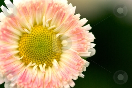 English Daisy stock photo, Closeup of an English Daisy Bloom by Charles Jetzer