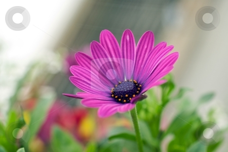 Painted Purple Soprano stock photo, Closeup of a Osteospermum Soprano Purple Bloom by Charles Jetzer