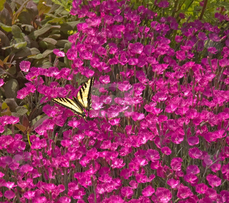 Monarch Butterfly on Pink Flowers stock photo, This beautiful monarch butterfly has landed on a group of bright pink garden flowers. by Valerie Garner
