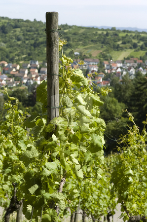 Grapevines stock photo, Grapevines in germany with village in background by Andreas Brenner