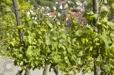 Grapevine stock photo, Close-up on grapevine, blurred village in background by Andreas Brenner