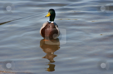 Duck stock photo, Green neck duck on the water reflection by Marc Torrell