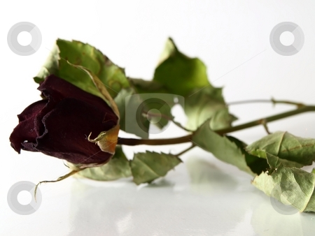 Dried red rose stock photo, A dried red rose on a white cover with green leaves by Arve Bettum