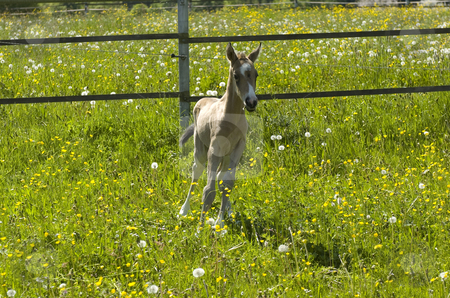 Paula standing in meadow stock photo, Akhal-Teke foal standing in flowery meadow by Andreas Brenner