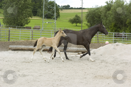 Paula and mother stock photo, Akhal-Teke foal with mother in paddock by Andreas Brenner