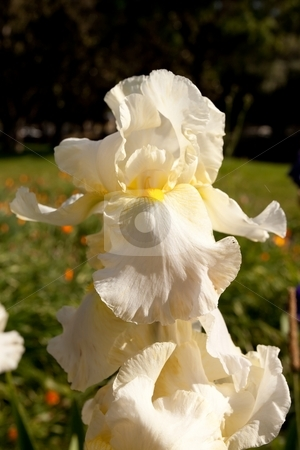 White Iris stock photo, Iris is a genus of between 200-300 species of flowering plants with showy flowers. It takes its name from the Greek word for a rainbow, referring to the wide variety of flower colors found among the many species. by Mariusz Jurgielewicz