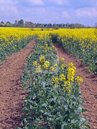 Oil seed rape (Canola) stock photo, Oil seed rape (Canola) is grown as vegetable cooking oil. Experiments are underway to use the extracted oil as a renewable bio fuel. by Ian Langley