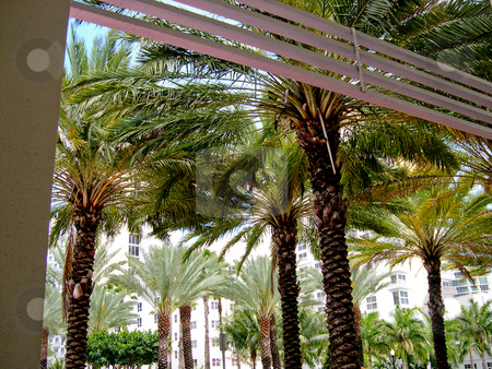 Palm trees stock photo, Palm trees in Miami Beach by Jaime Pharr