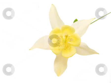 Yellow Columbine Flower stock photo, Yellow columbine flower on a white background by John Teeter