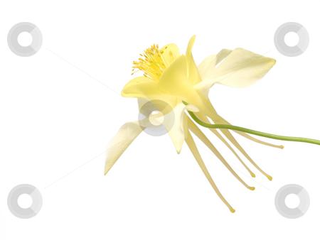 Yellow Columbine Flower stock photo, Yellow columbine flower on a white background by John Teeter