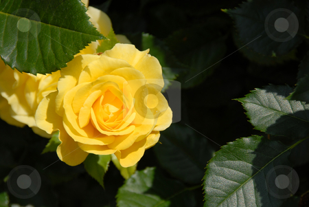 Yellow rose over dramatic shadow stock photo, Yellow rose green leaves over dramatic shadow by Julija Sapic