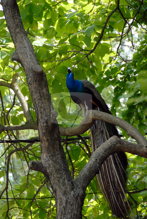 Peacock on tree stock photo, Blue male peacock sitting on tree branch outdoor by Julija Sapic