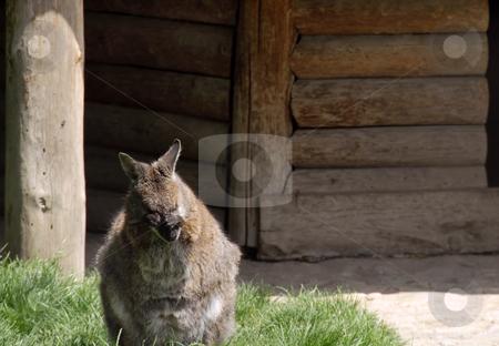 Kangaroo stock photo, Little kangaroo washing his face with hands in zoo by Julija Sapic