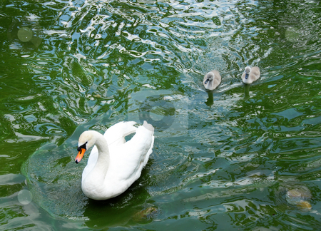 Swan stock photo, Swam family over green water outdoor swimming by Julija Sapic