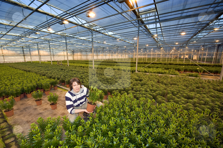 Showing a plant stock photo, A man, kneelingin the middle of endless rows of potted plants in a greenhouse by Corepics VOF