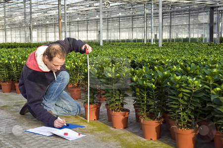 Measuring the height of glasshouse plants stock photo, A man measuring the heigth of glasshouse plants whilst takeing notes in a clipboard by Corepics VOF