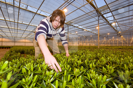 Checking the flower bulbs stock photo, A man, working in a huge glasshouse, checking the bulbs of potted plants by Corepics VOF