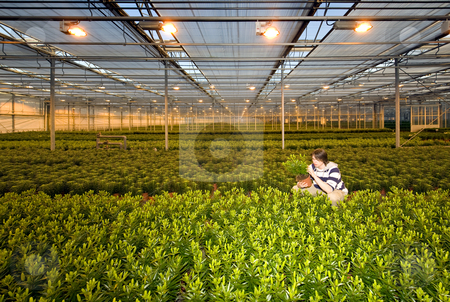 Glasshouse worker stock photo, A man, crouching in between endless rows of potted plants inside a glasshouse by Corepics VOF