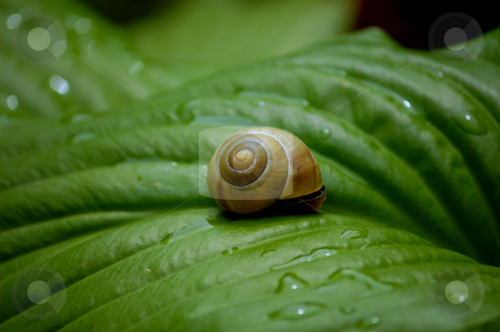 Snail on a green leave stock photo, Brown Snail on a wet green leave by ALESSANDRO TERMIGNONE