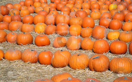 Pumpkin patch 2 stock photo, Pumpkin patch on a straw floor background by Stacy Barnett