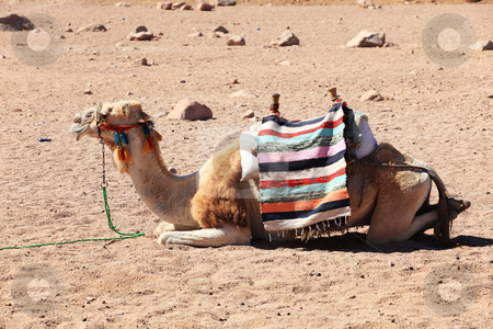 Camel stock photo, Camel in Egyptian desert by Tom P.