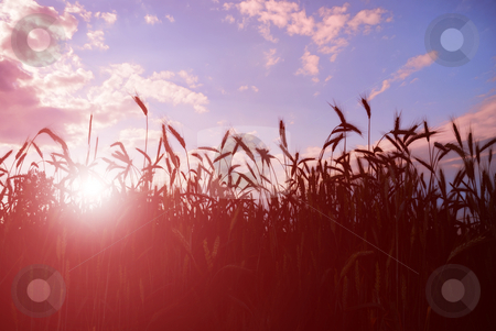 Barley in sunset stock photo, Field of barley or wheat in sunset. by Ivan Paunovic