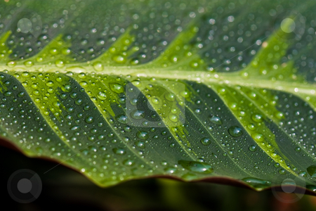 Leaf stock photo, Nature series: flower leaf with waterdrop by Gennady Kravetsky
