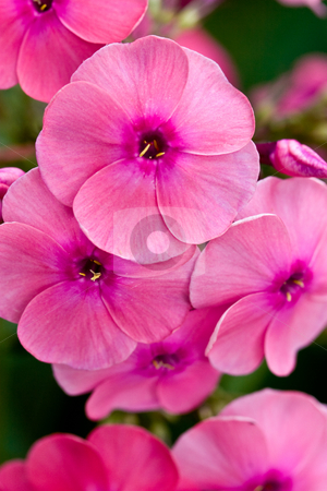 Pink phlox stock photo, Nature series: macro picture of pink phlox by Gennady Kravetsky
