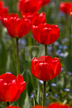 Red tulips stock photo, Flower series: red tulip's field texture in spring by Gennady Kravetsky