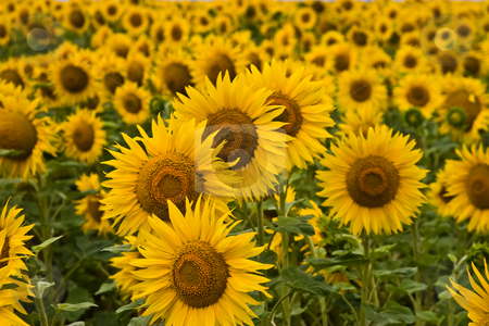 Sunflower stock photo, Meadow of yellow sunflower background, agriculture subject by Gennady Kravetsky
