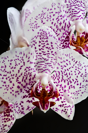 Orchid stock photo, Flower series: flower of orchid over black background by Gennady Kravetsky