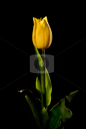 Yellow tulip  stock photo, Flower series: yellow tulip over black background by Gennady Kravetsky