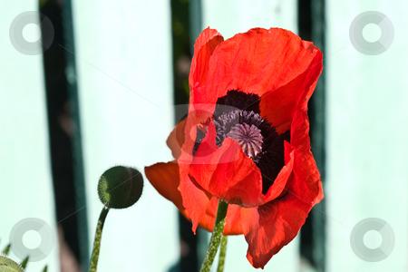 Poppy stock photo, Flower series: red poppy on summer morning light by Gennady Kravetsky