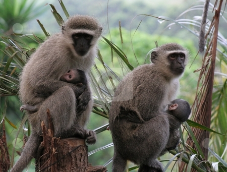 Monkeys with babies stock photo,  by Angie Wilken