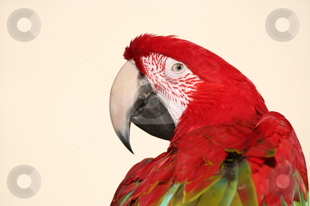 Scarlet macaw parrot head shot stock photo, Colorful scarlet macaw parrot closeup head shot by Stacy Barnett