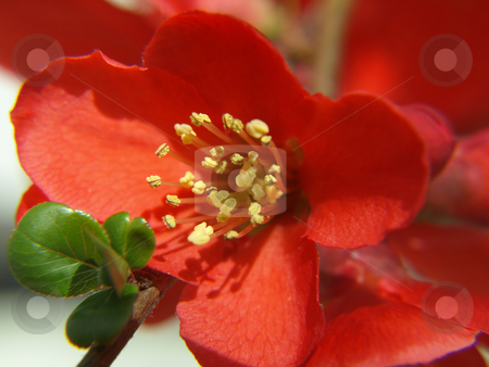 Red Quince stock photo, A flowering red quince blossom in a garden. by Robert Gebbie