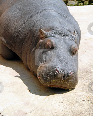 Hippopotamus sleeping stock photo, Hippopotamus sleeping in zoo outdoor in sunlight by Julija Sapic