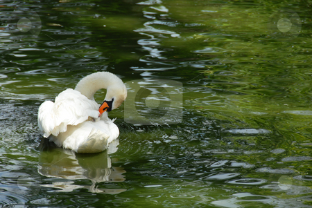 Swan stock photo, Swam over green water swimming in park by Julija Sapic