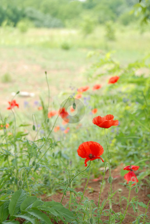 Summer field stock photo, Red poppies over blur sunny green field background by Julija Sapic