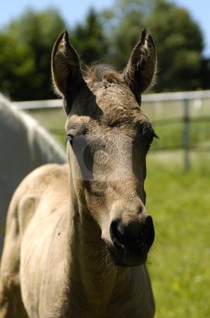 Akhal-Teke filly stock photo, Akhal-teke foal head shot by Andreas Brenner