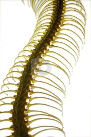 Snake Skeleton stock photo, Gently curved snake ribcage on a light base by Martin Darley