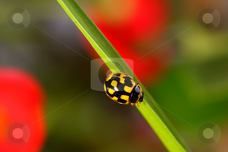 Ladybird stock photo, Black speckled ladybird  on green blade grass by Jolanta Dabrowska