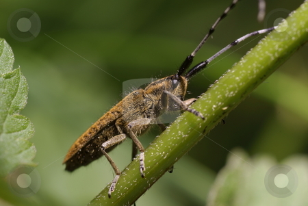 beetle stock photo, Large brown beetle on stem as background by Jolanta Dabrowska