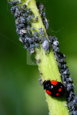 Ladybird stock photo, Macro ladybird and aphids on green stem by Jolanta Dabrowska