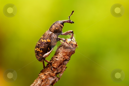 beetle stock photo, Large brown beetle on stick as background by Jolanta Dabrowska