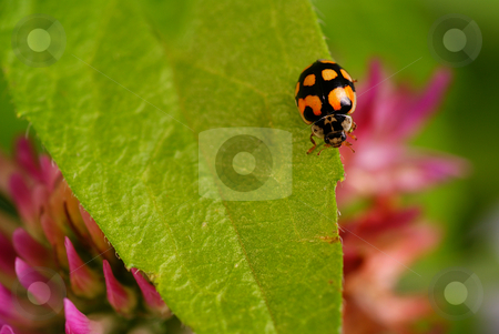 Ladybird stock photo, Black ladybird speckled on green leaf by Jolanta Dabrowska