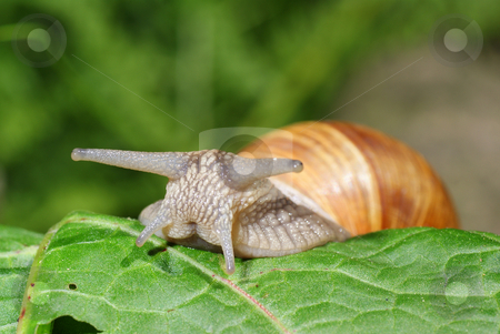Snail resting on green leaf stock photo, Big snail on green leaf as background by Jolanta Dabrowska