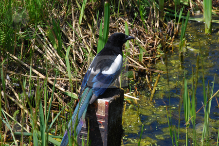 Magpie stock photo, Magpie on a pole in the moor by Koter