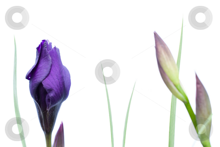 Isolated Iris Flower stock photo, A closed iris in focus with other closed flowers out of focus, isolated against a white background by Richard Nelson